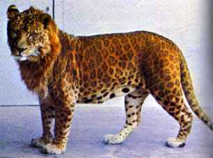 http://animalesfera.files.wordpress.com/2008/10/leopon.jpg